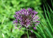 Fermez-vous vers le haut de la fleur pourpre d'allium Photos libres de droits