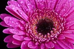 Fermez-vous vers le haut de la fleur rose Photo stock