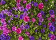 Fermez-vous vers le haut de la fleur rose d'aster pour le fond Images stock