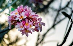 Fermez-vous vers le haut de la fleur rose de plumeria le temps de coucher du soleil Image stock