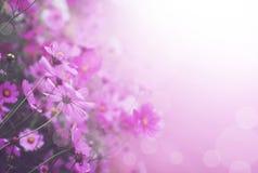 Fermez-vous vers le haut de la fleur rose et blanche de cosmos en parc Images stock