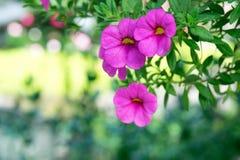 Fermez-vous vers le haut de la fleur rose - million de Bells Photographie stock libre de droits