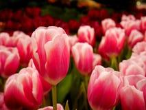 Fermez-vous vers le haut de la fleur rose de tulipe images libres de droits