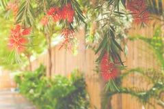 Fermez-vous vers le haut de la fleur rouge accrochant au-dessus du passage couvert avec le fond en bambou de mur Photo libre de droits