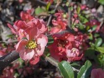 Fermez-vous vers le haut de la fleur rouge de floraison de Chaenomeles, qui japonais fleurissant photo stock