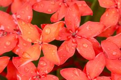 Fermez-vous vers le haut de la fleur rouge de transitoire d'Ixora image stock