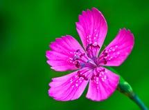 Fermez-vous vers le haut de la fleur violette Photographie stock
