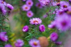 Fermez-vous vers le haut de la fleur violette Le vent souffle un bouquet des fleurs dans le soleil ?galisant image stock
