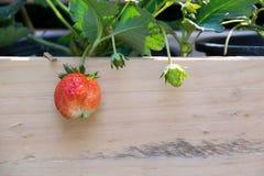 Fermez-vous vers le haut de la fraise plantée dans un pot en bois Photo libre de droits