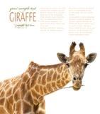 Fermez-vous vers le haut de la giraffe Photo libre de droits