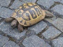 Fermez-vous vers le haut de la grande tortue de brun jaune sur le trottoir de ville avec le cobb gris photos libres de droits
