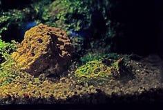 Fermez-vous vers le haut de la grenouille à cornes argentine ou de la grenouille de Pacman sur la nature Backgrou image libre de droits