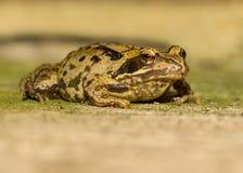 Fermez-vous vers le haut de la grenouille photographie stock libre de droits