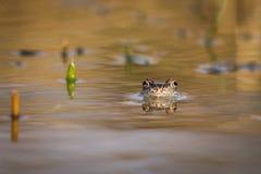 Fermez-vous vers le haut de la grenouille de Brown et du x28 ; Temporaria& x29 de Rana ; Photo libre de droits