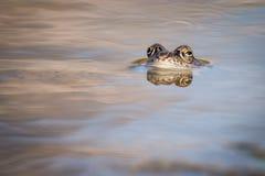 Fermez-vous vers le haut de la grenouille de Brown et du x28 ; Temporaria& x29 de Rana ; Image libre de droits