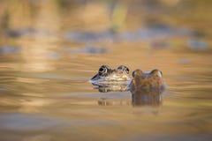 Fermez-vous vers le haut de la grenouille de Brown et du x28 ; Temporaria& x29 de Rana ; Image stock