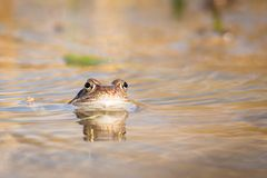 Fermez-vous vers le haut de la grenouille de Brown et du x28 ; Temporaria& x29 de Rana ; images libres de droits