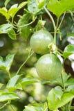 Fermez-vous vers le haut de la jeune passiflore comestible de passiflore verte photographie stock
