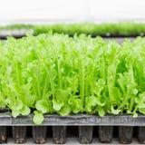 Fermez-vous vers le haut de la jeune plante verte de laitue Image stock