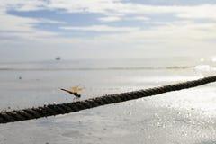 Fermez-vous vers le haut de la libellule brune sur la corde, concept d'amour, perc de libellule Image stock