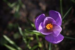 Fermez-vous vers le haut de la macro fleur pourpre à un arrière-plan de bokeh photos stock