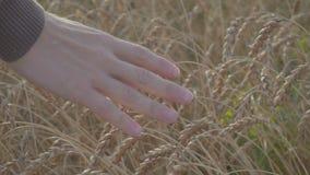 Fermez-vous vers le haut de la main du producteur masculin fonctionnant par le mouvement lent d'or de champ de blé banque de vidéos