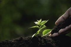 Fermez-vous vers le haut de la main de la personne tenant le sol d'abondance sur la jeune usine pour l'agriculture ou plantant la image stock