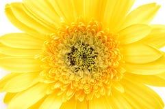 Fermez-vous vers le haut de la marguerite jaune de gerber photo libre de droits