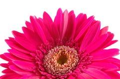 Fermez-vous vers le haut de la marguerite rose de gerber Photos stock