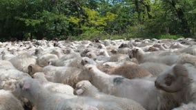 Fermez-vous vers le haut de la mer des moutons versant après l'appareil-photo Beaucoup de moutons et de RAM vont sur la route Les banque de vidéos