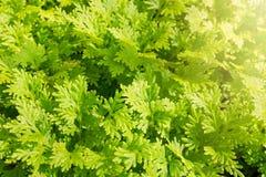 Fermez-vous vers le haut de la mousse de transitoire verte dans le jardin image libre de droits
