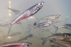Fermez-vous vers le haut de la pêche sous l'eau Eau douce de poissons d'amorce Image stock