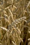 Fermez-vous vers le haut de la partie de blé Photographie stock libre de droits