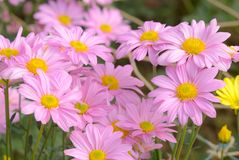 Fermez-vous vers le haut de la photo de belles fleurs roses Groupe de fleur dans le jardin d'agrément Photos stock