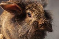 Fermez-vous vers le haut de la photo d'un lapin brun de lapin de tête de lion Image libre de droits