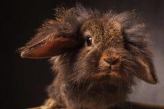 Fermez-vous vers le haut de la photo d'un lapin mignon de tête de lion Photographie stock libre de droits