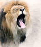Fermez-vous vers le haut de la photo d'un lion Images libres de droits