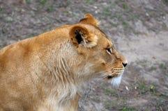 Fermez-vous vers le haut de la photo d'un lion Photo libre de droits