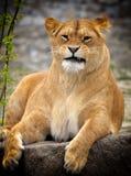 Fermez-vous vers le haut de la photo d'un lion Image stock