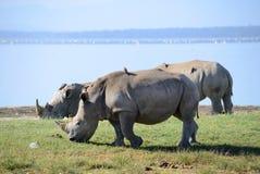 fermez-vous vers le haut de la photo d'un rhinocéros/d'un visage blanc mis en danger, du klaxon et d'oeil de rhinocéros l'Afrique Photographie stock libre de droits