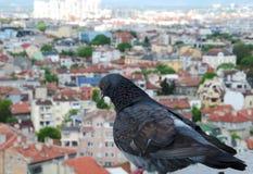Fermez-vous vers le haut de la photo d'une colombe sur le toit Photographie stock libre de droits
