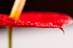 Fermez-vous vers le haut de la photo des fleurs d'anthure Image stock
