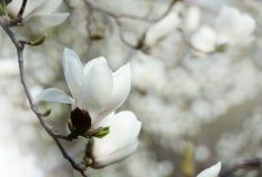 Fermez-vous vers le haut de la photo des fleurs de magnolia fleurissant en ressort Photo filtrée par hippie Photos libres de droits