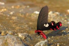 Fermez-vous vers le haut de la photo du beau papillon papillon rouge et noir au sol Images libres de droits
