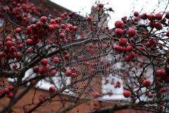 Fermez-vous vers le haut de la photo du Web du ` s d'araignée pendant de l'arbre rouge de pomme sauvage en automne Image stock