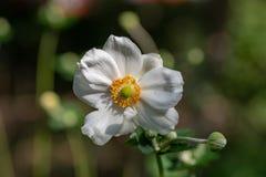Fermez-vous vers le haut de la photo de la fleur japonaise de hupehensis d'anémone d'anémone photo stock