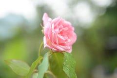 Fermez-vous vers le haut de la photo de Rose rose-clair fraîche image libre de droits