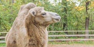 Fermez-vous vers le haut de la photo de la tête de chameau dans le zoo photos libres de droits