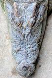 Fermez-vous vers le haut de la photo de la tête de crocodile photos libres de droits