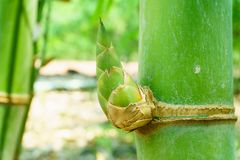 Fermez-vous vers le haut de la pousse de bambou dans le jardin, ABEILLE de MUNRO du BAMBUSA BEECHEYANA image libre de droits